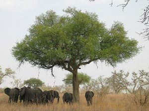 elephants around a tree in Cameroon