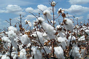 Ecological and Social Costs of Cotton Farming