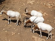 The story of the recovery of the Arabian oryx