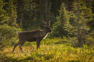 Canada's Species At Risk Act (SARA) and the woodland caribou