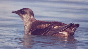 The Opportunities for and Challenges of Saving the Marbled Murrelet