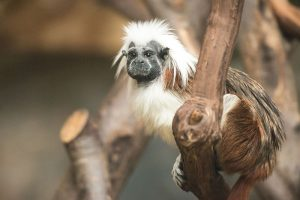 Eric Kilby from Somerville, MA, USA, Cotton Top Tamarin (18142012995), CC BY-SA 2.0
