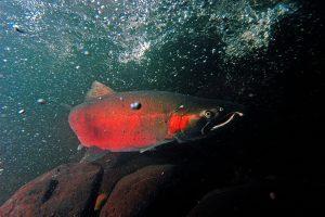 A coho salmon makes its way up Cedar Creek on its way to the Sandy fish hatchery.